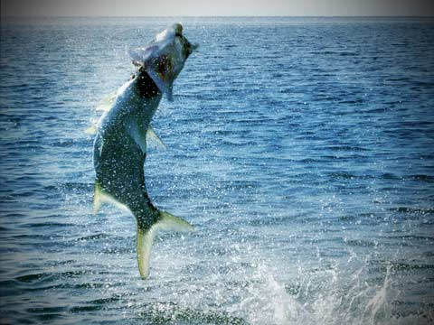 Key west fishing information travel guide and videos for Fish in key west